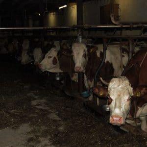 biogas massentierhaltung vegane energie