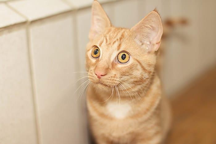 Katzen impfen ja oder nein krebs tumor durch impfung