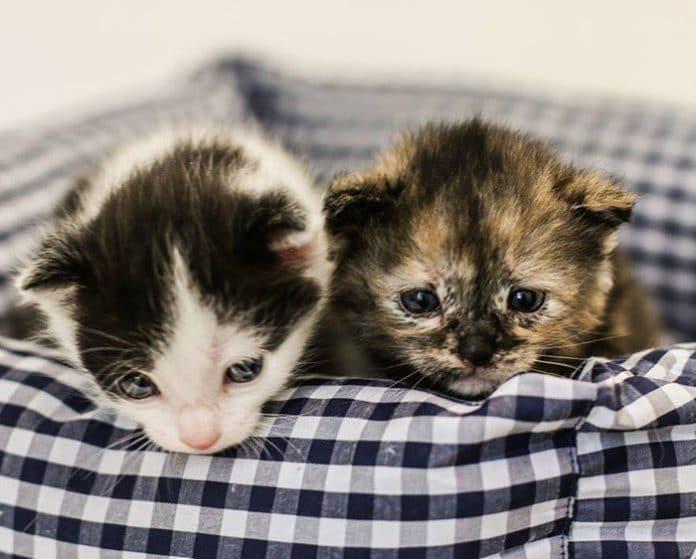 3 mythen über dreifarbige katzen