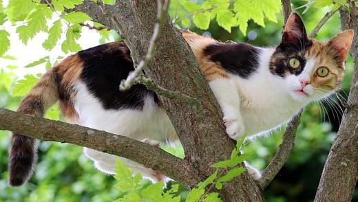glückskatzen dreifarbige katze