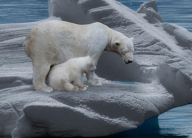 Eisbären leiden unter Klimawandel
